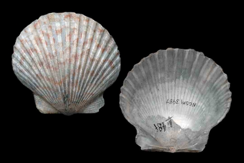 Bivalv 3465-66