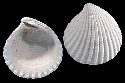 Bivalv 4448-50