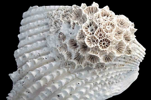Corals 2600