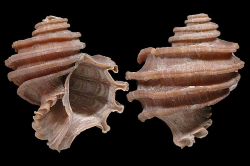 Gastropods